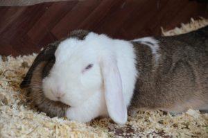 Schlappohr Merle findet bei Linda ein neues Zuhause (Foto: Regina Katzer)